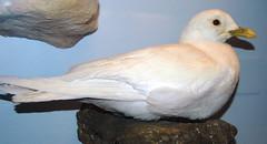 Pagophila eburnea (ivory gull)