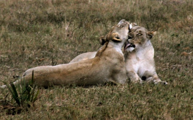 Lionesses cleaning in Tembe Elephant Park, South Africa