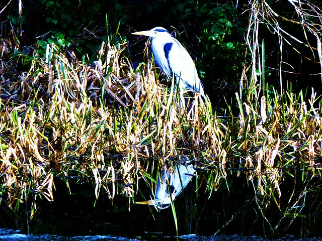 Heron, Forth & Clyde Canal, Scotland