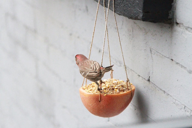 house finch on grapefruit feeder
