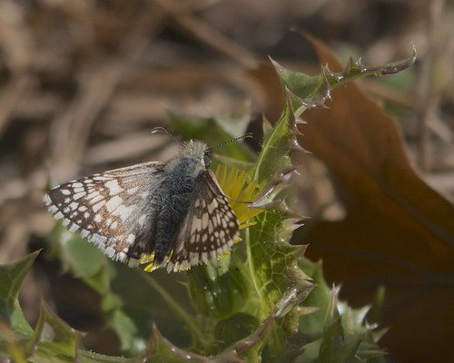 Checkered Skipper on Sow-Thistle