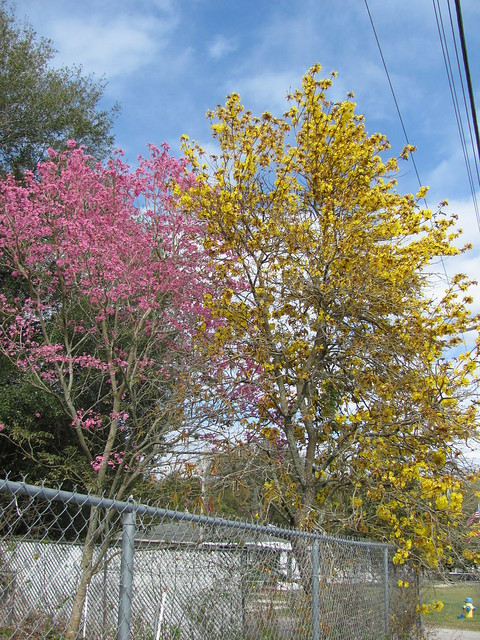 Pink and yellow tabebuia trees