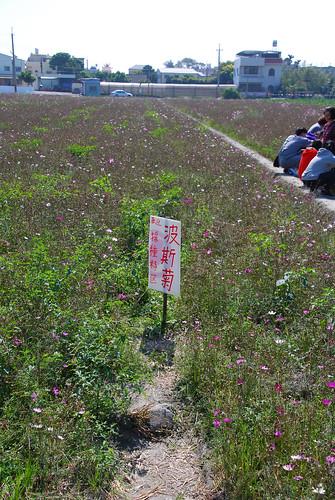 波斯菊採種子區