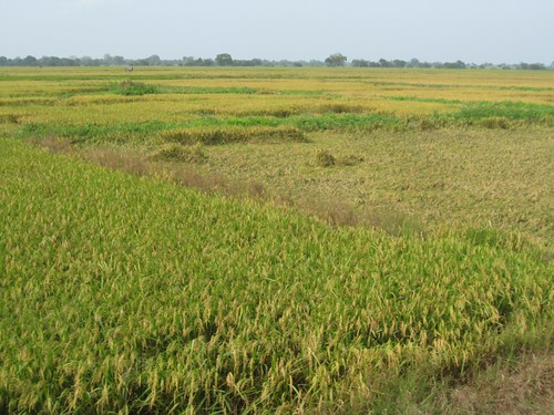 Rice in the South by Plant Design Online