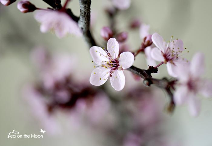 prunus con flor 01