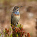 White-spotted Bluethroat (Byron Palacios)