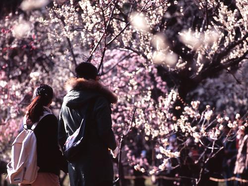 [フリー画像素材] 人物, カップル, 人物 - 後ろ姿, 人物 - 花・植物, 梅・ウメ ID:201303090600