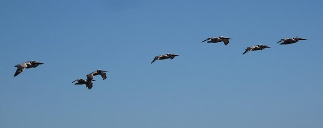 Pelican flypast