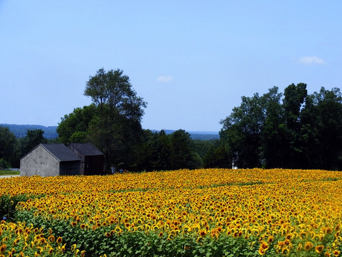 flowers trees summer sky field leaves barn farm connecticut bluesky sunflowers sunflowerfield sunflowerfarm buttonwoodfarm griswoldct