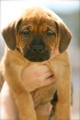 dog breed, animal, broholmer, puppy, dog, pet, guard dog, carnivoran, bullmastiff,