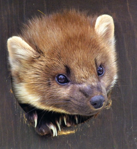 The small dark furry head of a pine marten pokes through a hole in a wooden den box at a wildlife centre. Its claws are resting under its chin on the edge of the hole.