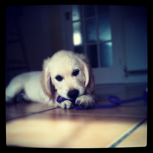 Image Result For Golden Retriever Puppy