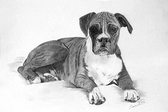 Boxer Dog Drawing Boxer Dog Drawn By Hand On Bristol Boa Flickr