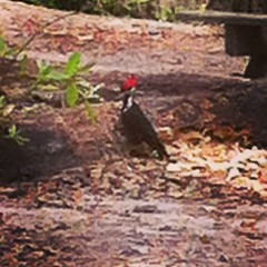 Redheaded Woodpecker on #AdventureZ #outdoors from our #homeschool week