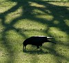 Black bird and shadows -1