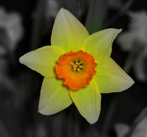 A Daffodil day