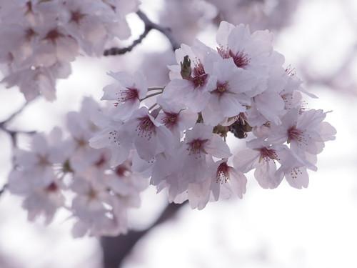 sakura fading pink