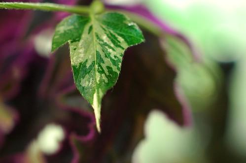 Q0274 Ipomoea nil leaf by Gerris2