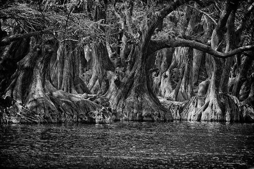parque naturaleza agua nikon árboles bn árbol michoacán camécuaro sabinos d300s michoacándeocampo escenarionatural nikon300s