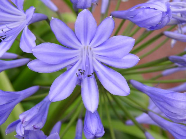 Синий цветок // Blue flower