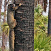 Sherman's Fox Squirrel (Sciurus niger shermani) on Cabbage Palm (Sabal palmetto)