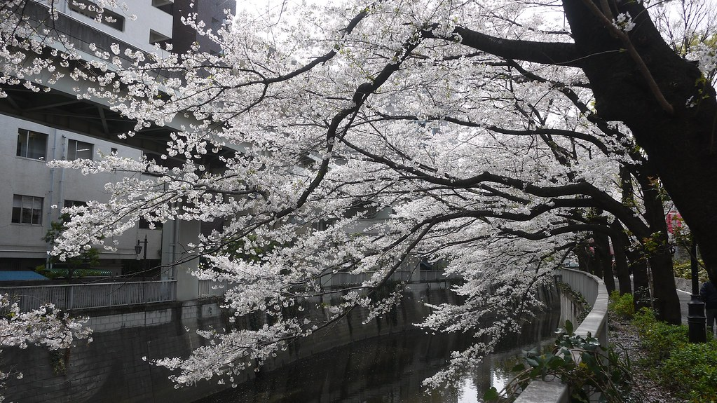 Sakura Overhanging Kanda River