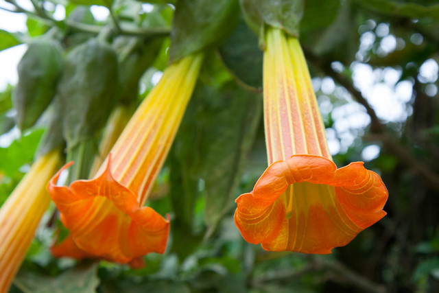 "<p>""Brugmansia have also traditionally been used in many South American indigenous cultures in medical preparations and as a ritualistic hallucinogen for divination, to communicate with ancestors, as a poison in sorcery and black magic, and for prophecy.""<br /> <br /> When we were in the village of Nono, north of Quito, we saw these flowers and our guide told us they were often used to drug people and steal from them - it basically puts you in a conscious but nonresistant state, like date rape drugs.<br /> <br /> Turns out it is the same drug I was wearing on a patch behind my ear for sea-sickness (Scopolamine).<br /> <br /> This might explain why I hallucinated several times when I woke up in the middle of the night. Hilariously, I hallucinated Galapagos animals. A penguin by the doorknob, sea lion climbing the door, iguana on the lamp. Otherwise, no side effects.</p>"