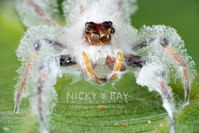 Jumping Spider (Salticidae) - DSC_9014