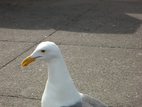 Seagull trying to eat my food