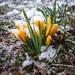 Autour du chalet, crocus sous la neige by Stephanie Booth