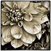 flower No#401 | #flowers #blackandwhite #bnw #bw #all_shots #bestoftheday #ig wearejuxt #iphone #blancoynegro #baw #blacknwhite #ink361 #all_shots #statigram #igdaily #webstagram #snapseed #camera+ #noir #simplyb&w
