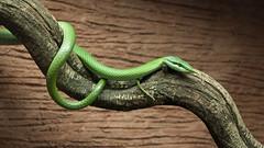 Rhino snake
