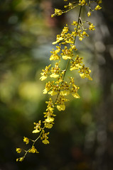 Somewhere in my garden...Oncidium sphacelatum