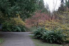 Hamamelis - Witt Winter Garden