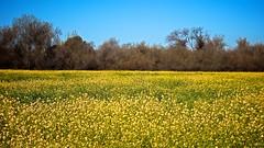 Wild Mustard Field 2  of 12