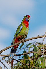 animal, lovebird, macaw, parrot, branch, pet, fauna, parakeet, lorikeet, beak, bird, wildlife,