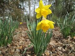 daffodil by Teckelcar