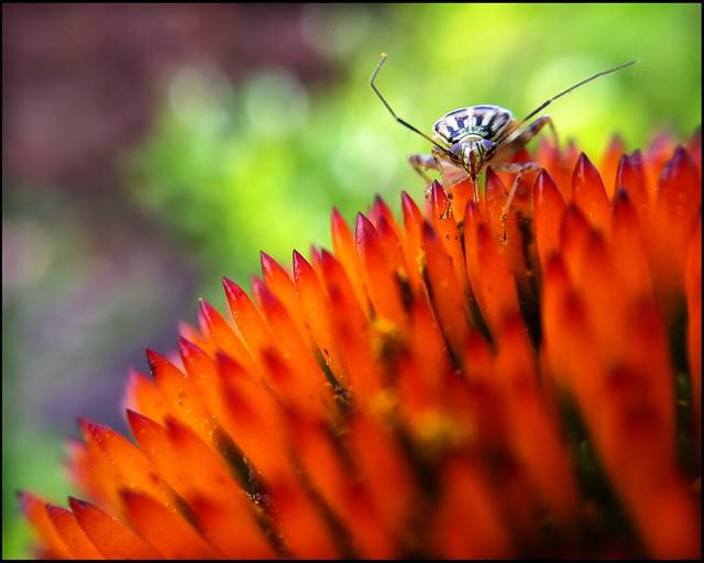 Bug on Orange Bloom