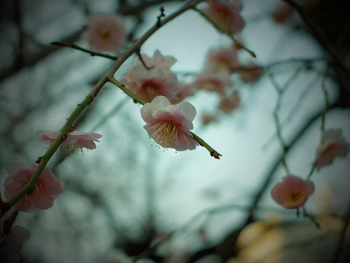 plum-bloom festival 11