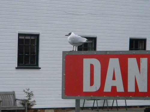 A tern called Dan