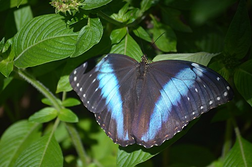 Banded Morpho with its brilliant blue markings sits on Pentas by jungle mama