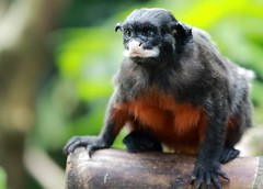 animal, primate, fauna, new world monkey, wildlife,