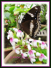 Hypolimnas bolina (Great/Common Eggfly or Blue Moon Butterfly) on Golden Net-bush, Feb 2013