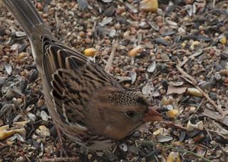 Juvenile Harris's Sparrow