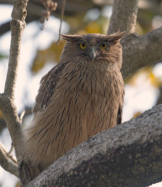 Brown Fish Owl Flickr Photo Sharing