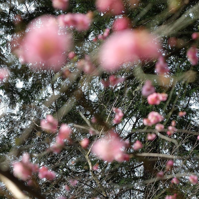 Japanese plum1