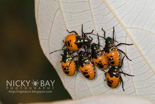 Shield-Backed Bugs (Cantao ocellatus) - DSC_8599