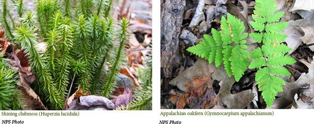 Shining-clubmoss-&-Appalachian-oakfern
