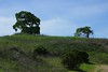 Lime Ridge Regional Open Space  Same two lonely Oak Trees from a different angle.