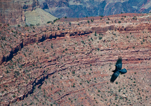 canyon bird